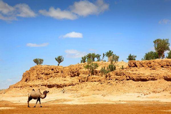Un camello camina en el Desierto de Gobi, Mongolia